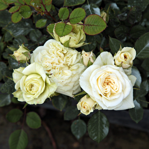 Creamwhite, creampink in the middle - miniature rose