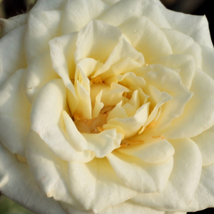 Buy Roses Online - White - miniature rose - discrete fragrance - Moonlight Lady - Barry & Dawn Eagle - Ideal for decorating edges, rich cluster-flowered