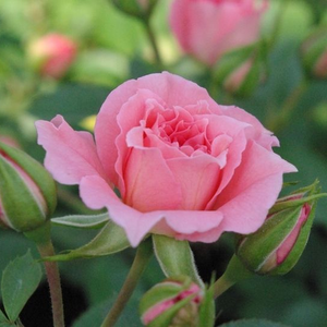 Rosa Moana - rose - rosiers miniatures