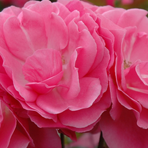 Online Rose Nursery‎ - Moana - pink - miniature rose - discrete fragrance - Samuel Darragh McGredy IV - Good for covering, ideal for decorating edges, rich cluster-flowered