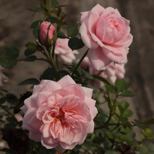 Light pink - miniature rose