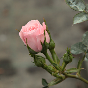 Blush Parade® - pink - miniature rose