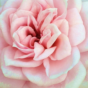 Rose Sales Online - Blush Parade® - pink - miniature rose - discrete fragrance - Olesen, Pernille & Mogens N. - Perfect for decorating edges, balconies. Rich cluster-flowered recommended for those who like pastel colours