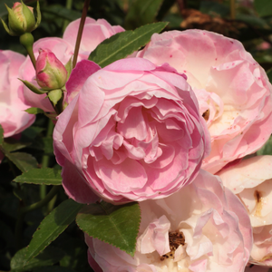 Pink - bed and borders rose - polyantha