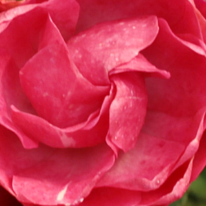 Rose Shop Online - bed and borders rose - polyantha - pink - Dick Koster - discrete fragrance - D.A. Koster - Cluster-flowered, curly, lasting, blooms continuously. Looks great planted in groups.