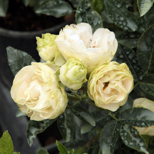 Snövit - white - bed and borders rose - polyantha
