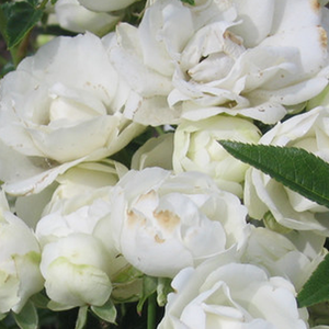 Order Roses Online - Snövit - bed and borders rose - polyantha - white - no fragrance - D.A. Koster, F.J. Grootendorst - Cluster-flowered, curly, lasting. Looks great when planted into groups.