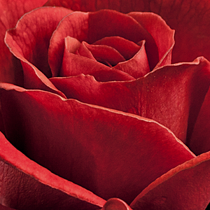 Online Rose Nursery‎ - Top Hit - red - miniature rose - discrete fragrance - L. Pernille Olesen,  Mogens Nyegaard Olesen - Good for covering, ideal for decorating edges, rich cluster-flowered