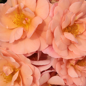 Rose Shopping Online - bed and borders rose - floribunda - orange - Alison 2000 - discrete fragrance - Pflanzen-Kontor - Colourful flowerbed rose which colour is always changing.