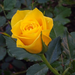 Friesia® - yellow - bed and borders rose - floribunda