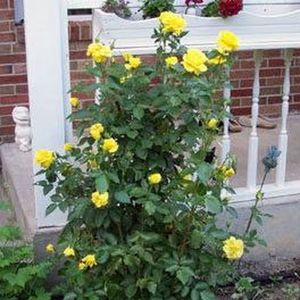 Giallo - Rose Floribunde