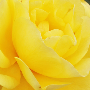 Rose Shopping Online - Yellow - bed and borders rose - floribunda - discrete fragrance - Friesia® - Reimer Kordes - One of the most beautiful roses of floribundas, keeps its colour until the end of the blooming.