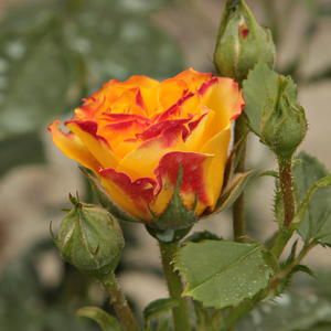 Jelroganor - yellow - red - bed and borders rose - floribunda