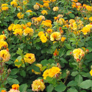 Yellow-red mixture - bed and borders rose - floribunda
