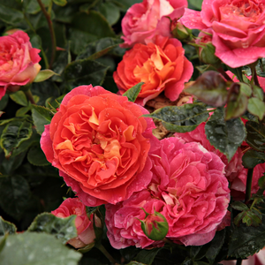 Yellow-red - bed and borders rose - floribunda