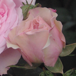 Very beautiful, noble, light pink, with grouped flowers, good for bed and borders rose.