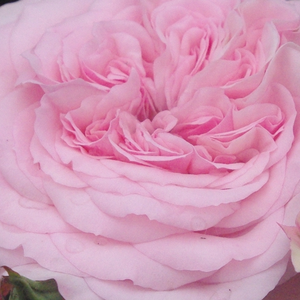 Rose Shopping Online - Pink - nostalgia rose - discrete fragrance - Diadal - - - Very beautiful, noble, light pink, with grouped flowers, good for bed and borders rose.