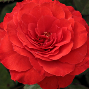Roses Online Delivery - Red - bed and borders rose - floribunda - no fragrance -  Borsod - Márk Gergely - Perfect for planting in flowerbeds and for hedge as well. Looks good planted into small groups