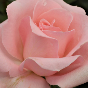 Buy Roses Online - Pink - hybrid Tea - no fragrance - Katrin - GPG Roter Oktober, Bad Langensalza - Good for bed and boarders, looks good in groups, early blooming,