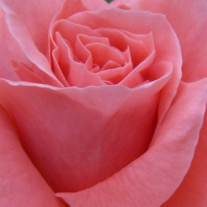 Rose Shopping Online - Orange - Pink - bed and borders rose - floribunda - intensive fragrance - Favorite® - Louis Lens - Very beautiful rich blooming flowerbed rose, draws attention when planted in a group.