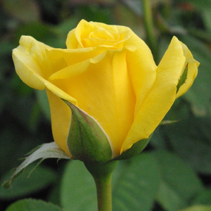 Golden Delight - giallo - Rose Floribunde