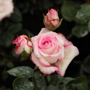 Händel - white - pink - bed and borders rose - floribunda