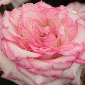 Buy Roses Online - White - Pink - bed and borders rose - floribunda - discrete fragrance - Händel - Samuel Darragh McGredy IV - Very decorative in big groups.
