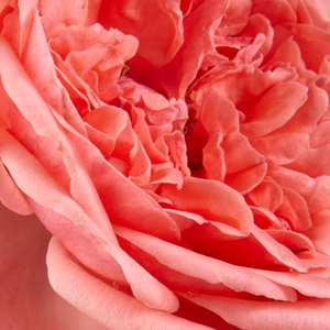 Rose Shopping Online - Pink - bed and borders rose - floribunda - moderately intensive fragrance - Kimono - De Ruiter Innovations BV. - Flowerbed rose, beautiful colour spot in your garden when planted in groups