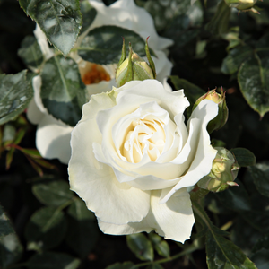 Rosa White Magic - blanche - rosiers floribunda