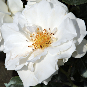Rosiers en ligne - Blanche - rosiers floribunda - parfum discret - Rosa White Magic - William A. Warriner - Floraison riche aux fleurs groupées. Ce rosier est le plus joli en plantation groupé.