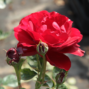 Lilli Marleen® - red - bed and borders rose - floribunda