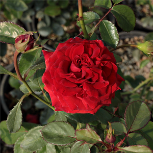 Hansestadt Lübeck® - red - bed and borders rose - floribunda