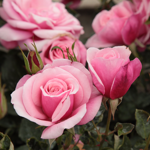 Milrose - pink - bed and borders rose - floribunda