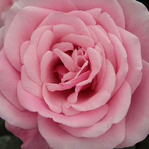 Buy Roses Online - Pink - bed and borders rose - floribunda - discrete fragrance -  Milrose - Georges Delbard, Andre Chabert - Cluster-flowered, beautiful pink bed and borders rose. Can be planted in a bed mixed with perennials.