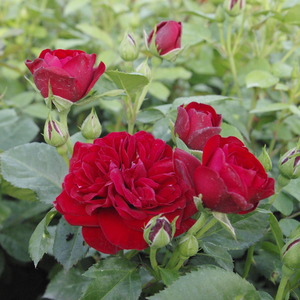 Bordò - Rose Floribunde