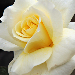 Height: 1,6-3 ft - Number of petals: 17-25