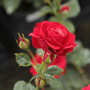 Nina Weibull® - red - bed and borders rose - floribunda