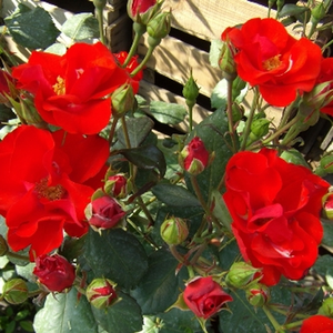 Lively light red - bed and borders rose - floribunda