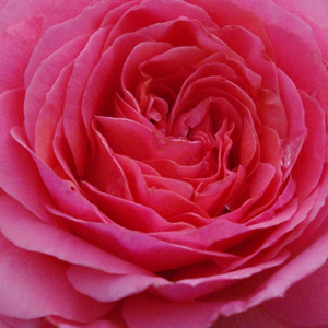Rose Shopping Online - Pink - bed and borders rose - floribunda - discrete fragrance - First Edition - Georges Delbard - Well growth, rich blooming, warm colour