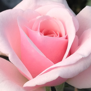 Roses Online Delivery - park rose - pink - Felberg's Rosa Druschki - moderately intensive fragrance - Johannes Felberg-Leclerc - Well growing robust branches, decorative, alway blooming