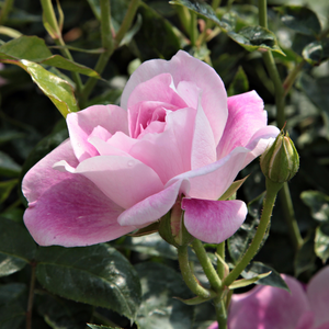 Regensberg - pink - white - bed and borders rose - floribunda