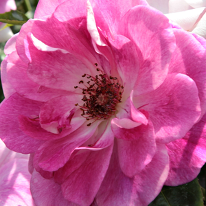 Roses Online Delivery - Pink - White - bed and borders rose - floribunda - discrete fragrance -  Regensberg - Samuel Darragh McGredy IV - Perfect for flowerbeds and for single groups.