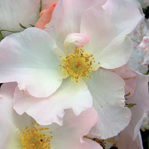 Rose Shop Online - park rose - white - Sally Holmes - discrete fragrance - Robert A. Holmes - Lating, beautiful, rich cluster flowered, perfect when planted into group.