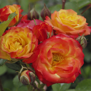 Golden yellow, some parts are red, becomes red - bed and borders rose - floribunda