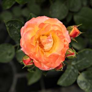 Warm colour, continuous, periodic blooming, good bed and borders rose