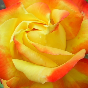Buy Roses Online - Yellow - Red - bed and borders rose - floribunda - no fragrance - Samba® - Reimer Kordes - Warm colour, continuous, periodic blooming, good bed and borders rose