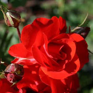 Satchmo - red - bed and borders rose - floribunda