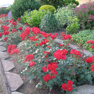 Warm scarlet red - bed and borders rose - floribunda