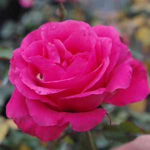 Deep pink - bed and borders rose - floribunda