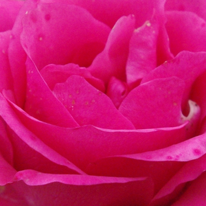 Buy Roses Online - Pink - bed and borders rose - floribunda - discrete fragrance - Tom Tom - E.J. Lindquist - Ideal flowerbed rose, warm pink, decorative cluster-flowers. Blooms in different in stages